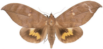 http://www.mothsofborneo.com/part-15-16/images/plate13/7.jpg