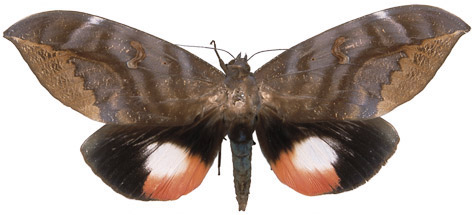 http://www.mothsofborneo.com/part-15-16/images/plate13/8.jpg