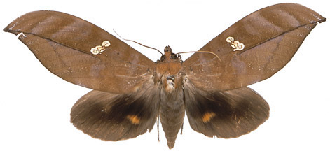 http://www.mothsofborneo.com/part-15-16/images/plate13/9.jpg
